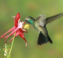 Broad-billed Hummingbird at columbine by tonybat