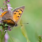 butterfly in the field by janko