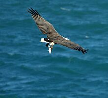 White-bellied Sea Eagle with a Trevally for Dinner by Janette Rodgers