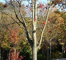 Autumn herald - tree & berries, Burntisland 2009 by armadillozenith