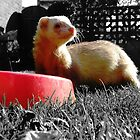 Merlin Ferret by Ruth  Jones