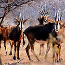 THE SABLE ANTELOPE - Hippotragus niger by Magaret Meintjes