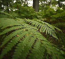 fern in the forest by codaimages