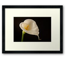 White arum lily on a black background Framed Print