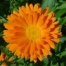 Orange Marigold Close Up With Garden Background by taiche