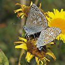 Common blue [Polyommatus icarus] by Tony4562