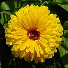 Holligold Blossoming Yellow Pot Marigold Flower by taiche