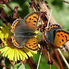 Small Copper (Lycaena phlaeas) by Tony4562