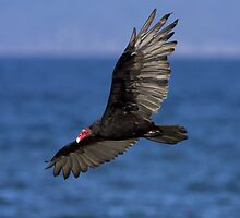 Turkey Vulture by Martin Smart