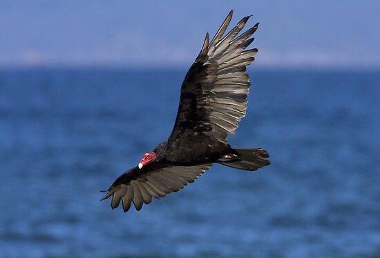 Turkey Vulture by Martin Smart