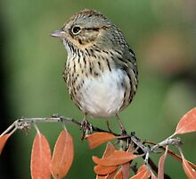 Lincoln's Sparrow by tonybat