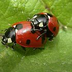 A Pair of Seven-spot Ladybirds (Coccinella septempunctata) in Cop by SteveMcBill