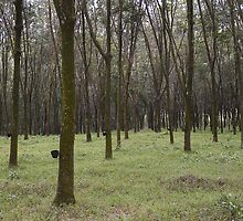 Rubber Tree Plantation by Werner Padarin