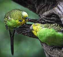 Budgerigar Feeding Time by randmphotos