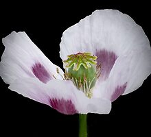 Opium Poppy by Judy O'Neil