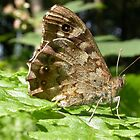 Speckled Wood Butterfly (Pararge aegeria) by SteveMcBill