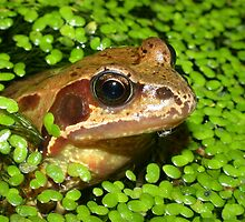 Common Frog (Rana temporaria) in a Pond by SteveMcBill