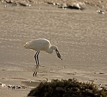 Little Egret catching a flat fish by Jon Lees