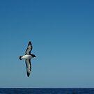 Cape Pigeon, Daption capense (titore) by lukasdf
