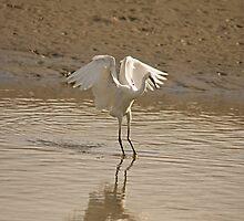 Little Egret landing 2 by Jon Lees