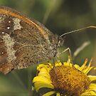 Gatekeeper (Pyronia tithonus) by Tony4562