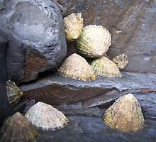 Limpets on rock by susanmcm