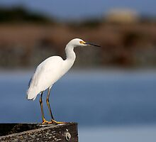 Snowy Egret Waiting by Wing Tong