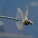 Common Hawker in flight by Nigel Kendall