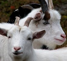 Young White Pygmy Goats by swaby