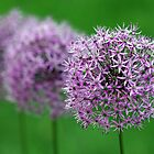 alliums in a row by jaki good