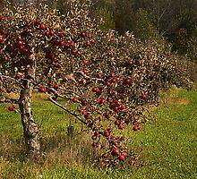 Lone Oaks Apples by cherylc1