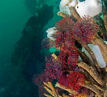 Feather Duster Worms by Greg Amptman