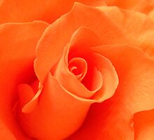 Peach Rose by Emily Bagley