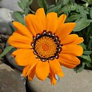 Orange Gazania Flower With Natural Background by taiche