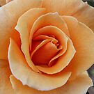 Orange Rose by Harvey Schiller