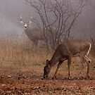 Buck eyes doe - White-tailed Deer by Jim Cumming