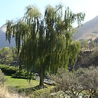 Weeping willow by the Salmon River by dixiemorgan