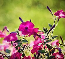 pink wave petunias by jaki good