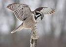 Northern Hawk Owl by Jim Cumming