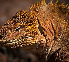 Yellow Land Iguana by becks78