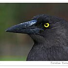 Fernshaw (not a raven) Currawong by Neville R Goldsmith
