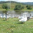 Ivanhoes Geese  by lulisa