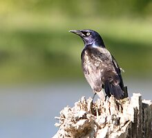 A Stumped Grackle by DigitallyStill