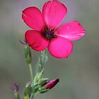 Scarlet Flax by LauraBroussard