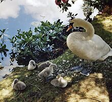 Mother Swan and Cygnets. by Brunoboy