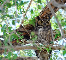 Great Horned Owl by Irvin Le Blanc