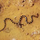 Juvenile Sea Snake by Miesha