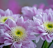 Pretty Chrysanthemums by Renee Hubbard Fine Art Photography