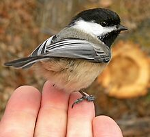 Black-capped Chickadee by Ron Kube