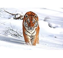 A Tiger in the Snow Photographic Print